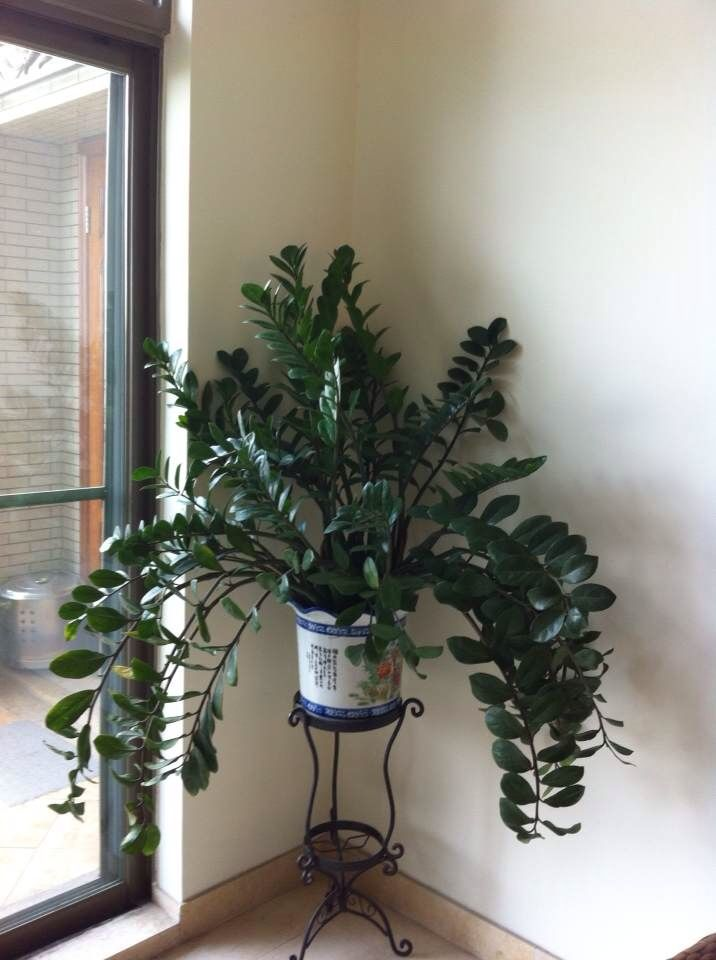 Zz Plant Plants Plant Decor Household Plants