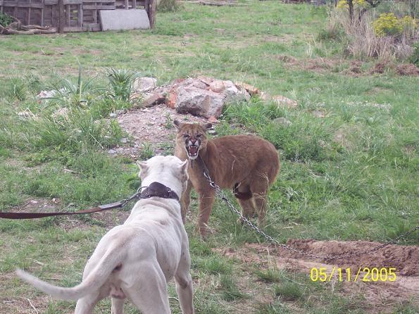 Dogo Argentino vs Pitbull | Dogo argentino vs puma 2 ...