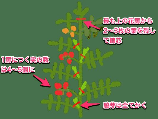 トマト ミニトマトの栽培方法 育て方のコツ トマト 栽培 ミニトマト