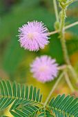 477120 - Sensitive plant (Mimosa pudica)