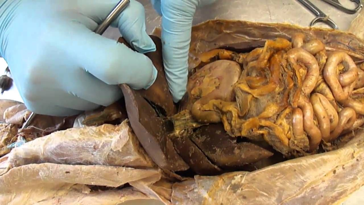 G.S.C. Cat Dissection internal organs, digestive system, and ...