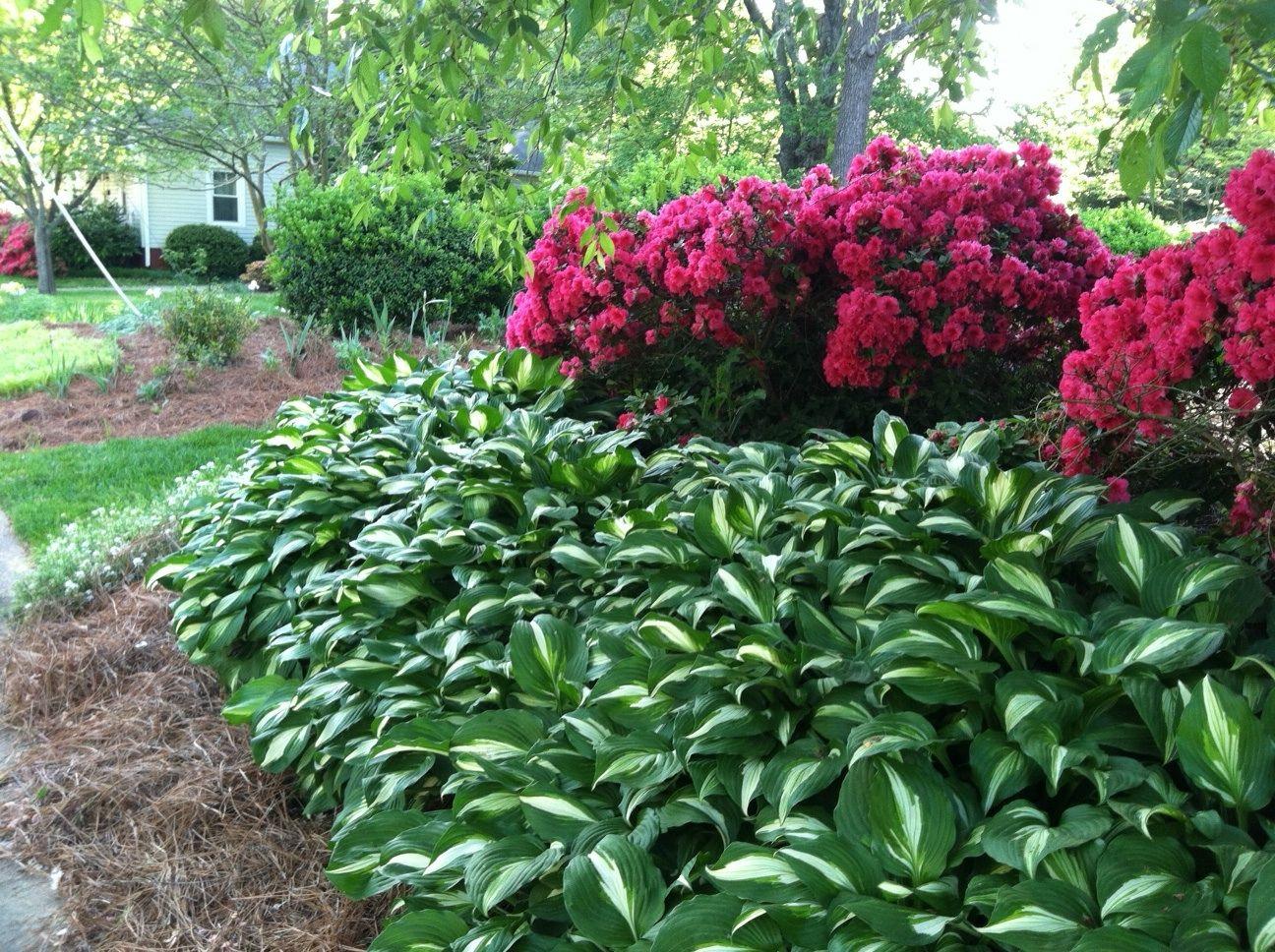 hosta & azalea azaleas landscaping
