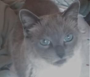 Adopt Cleopatra On Cats Siamese Cats Foster Mother
