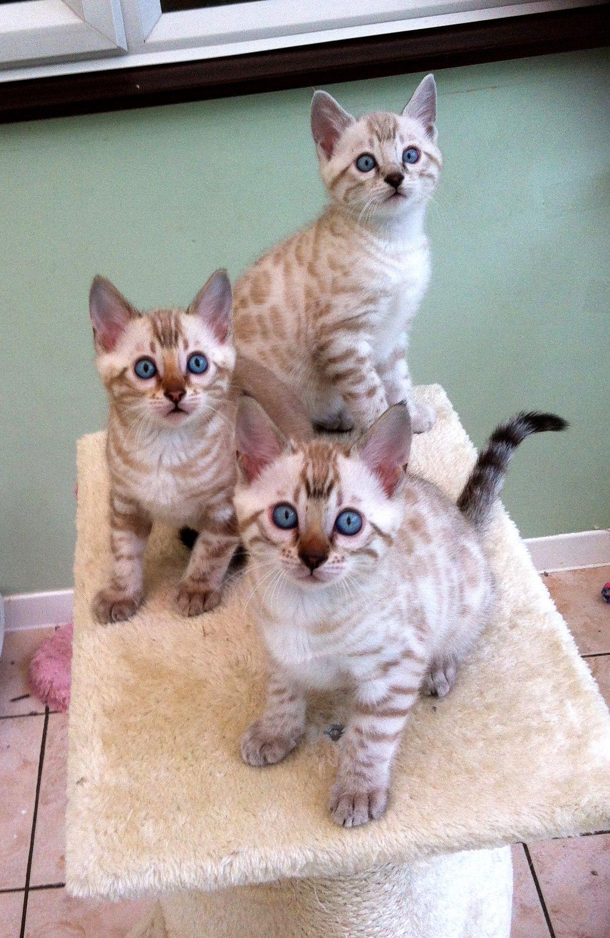 Perlo8 Jpg 1213 1865 Bengal Cat Breeders Bengal Cat For Sale Bengal Cat