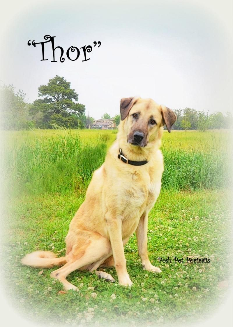 01/27/15Thor See his new pictures!! Anatolian Shepherd