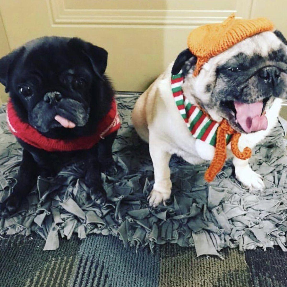 Hamilton Pug Hamiltonpug Twitter Pugs French Bulldog Animals