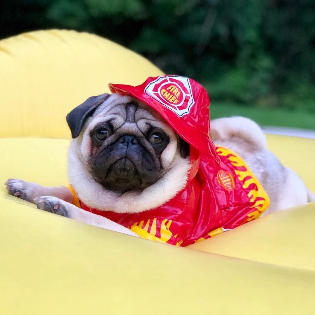Hero S Come In All Shapes Pug Pugdog Hundejacke