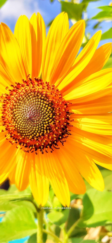 دوار الشمس عباد الشمس باقات زهور مسكات عرايس اكسبلورر وردي زهور انتي باقات ورد ورود جوري Instagram Instagram Photo Photo