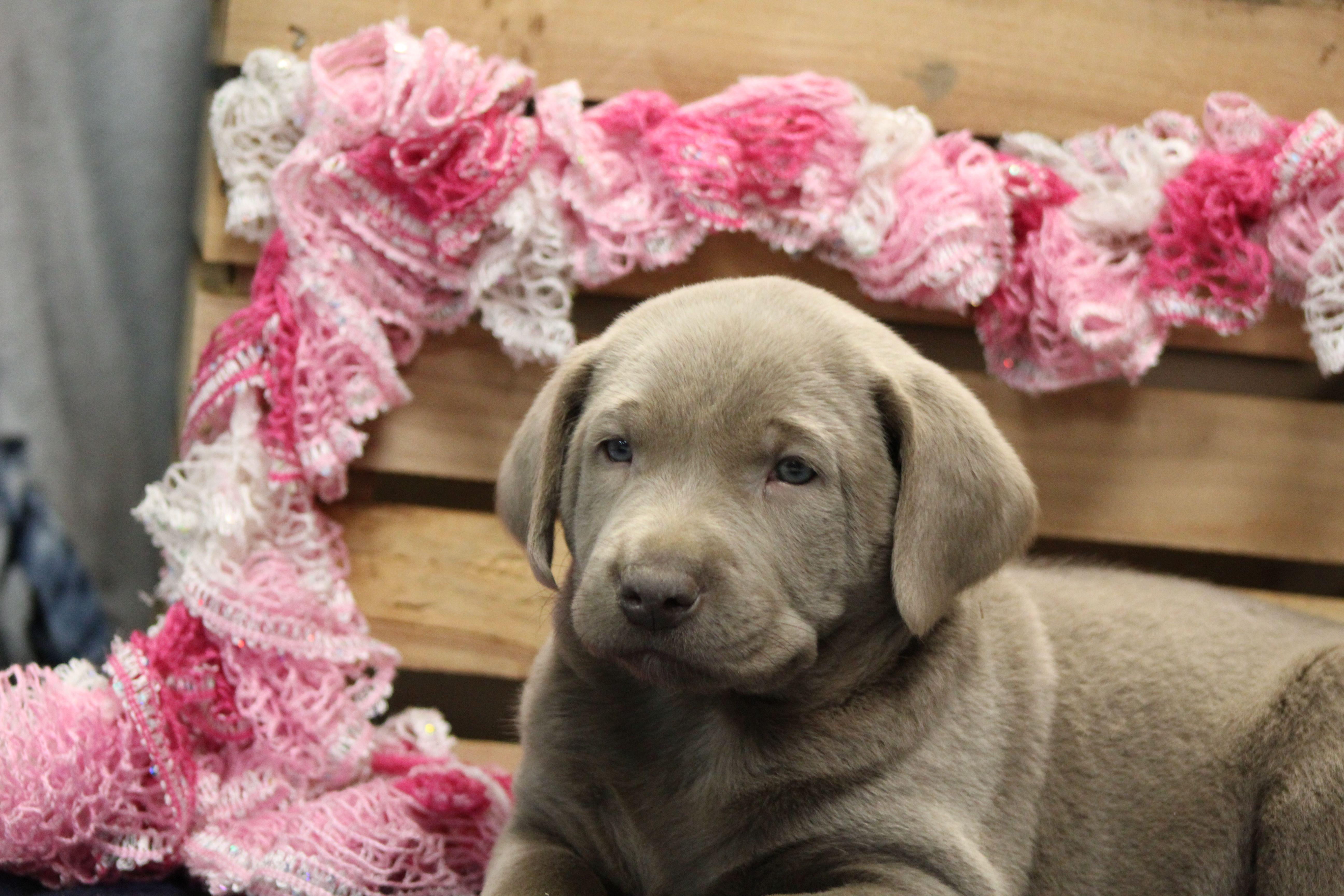 Kole Labrador Retriever doggie for sale at Goshen