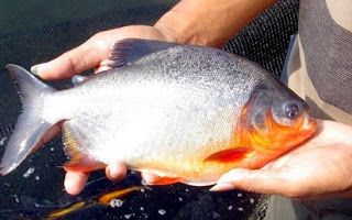 Unduh 400 Koleksi Gambar Ikan Patin Dan Bawal HD Gratis