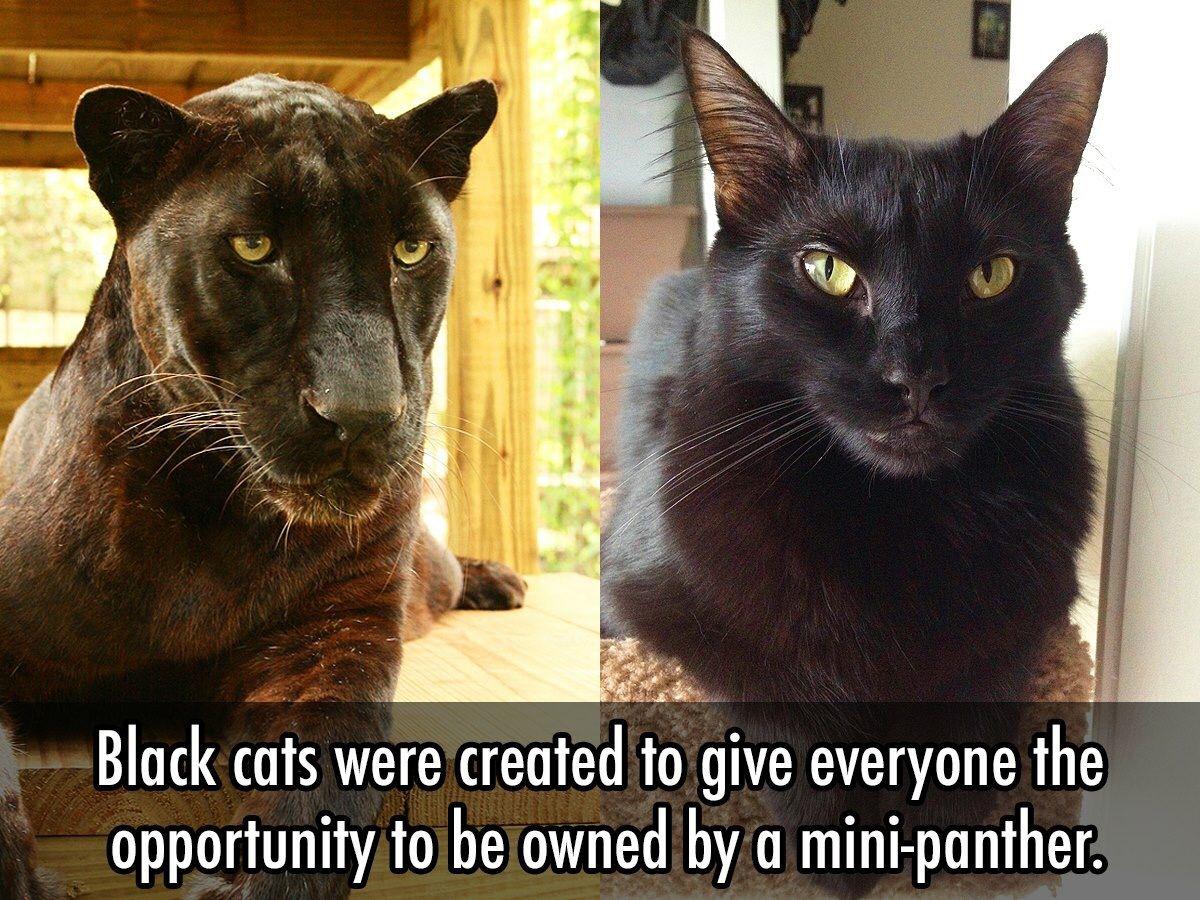 MiniPanther Black cat, Cat memes, Cat lovers