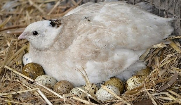 a simple guide to breeding japanese or coturnix quail in