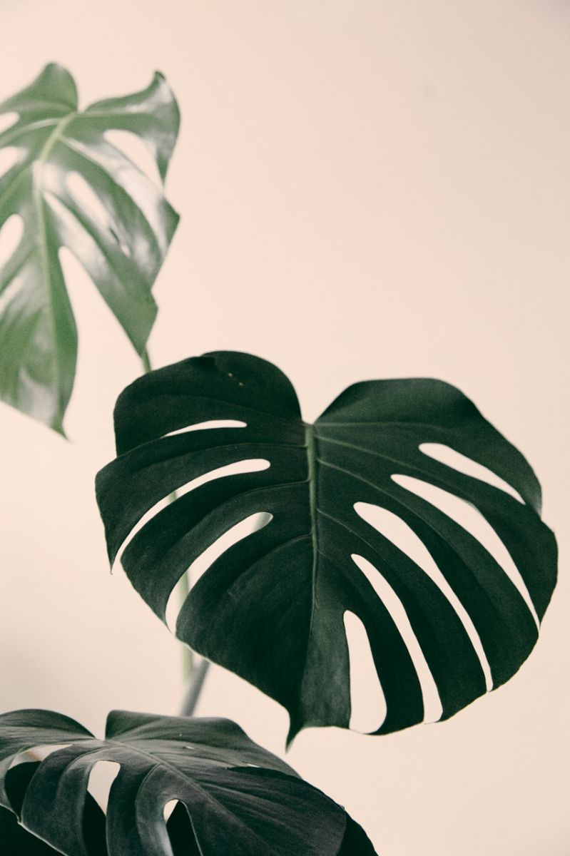17 best ideas about monstera deliciosa on pinterest philodendron jungle girl and boheme. Black Bedroom Furniture Sets. Home Design Ideas