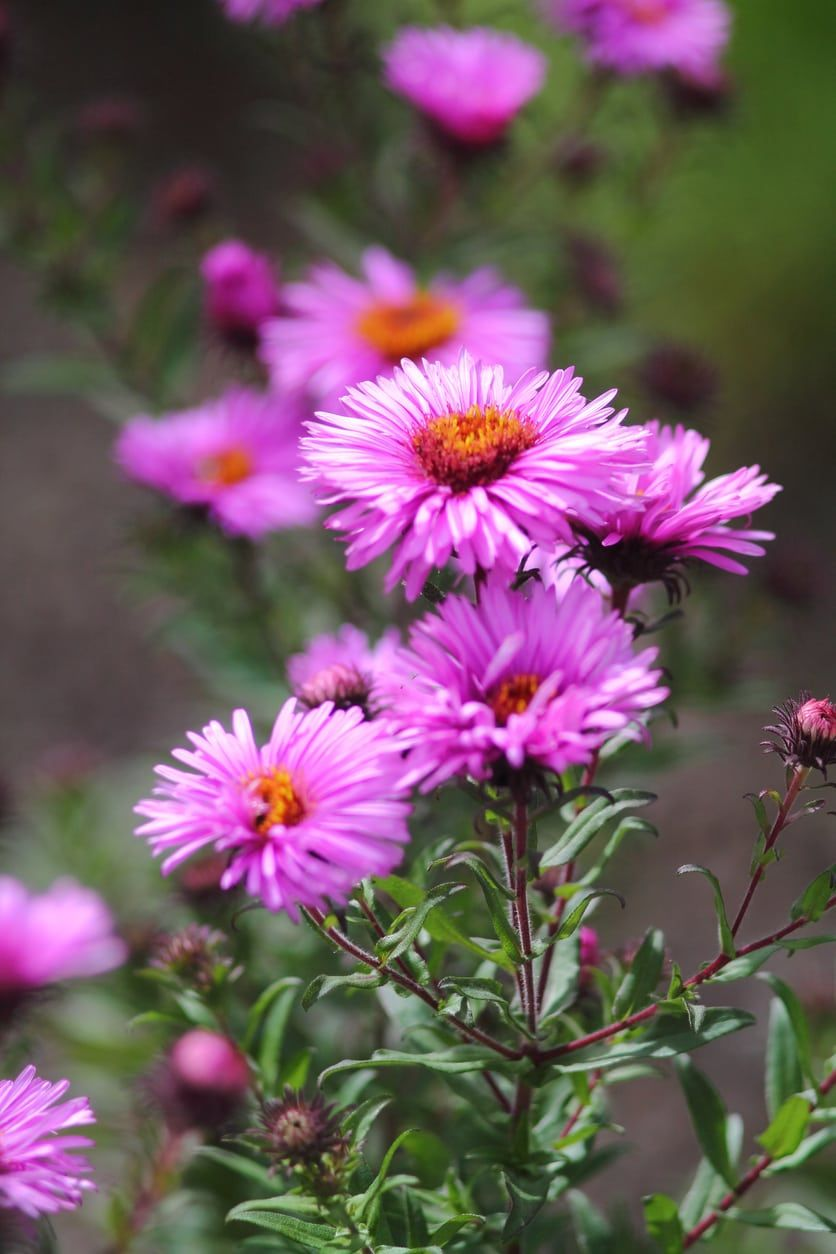 Growing Asters That Are Pink Learn About Pink Aster Varieties Flower Landscape Aster Flower Plants
