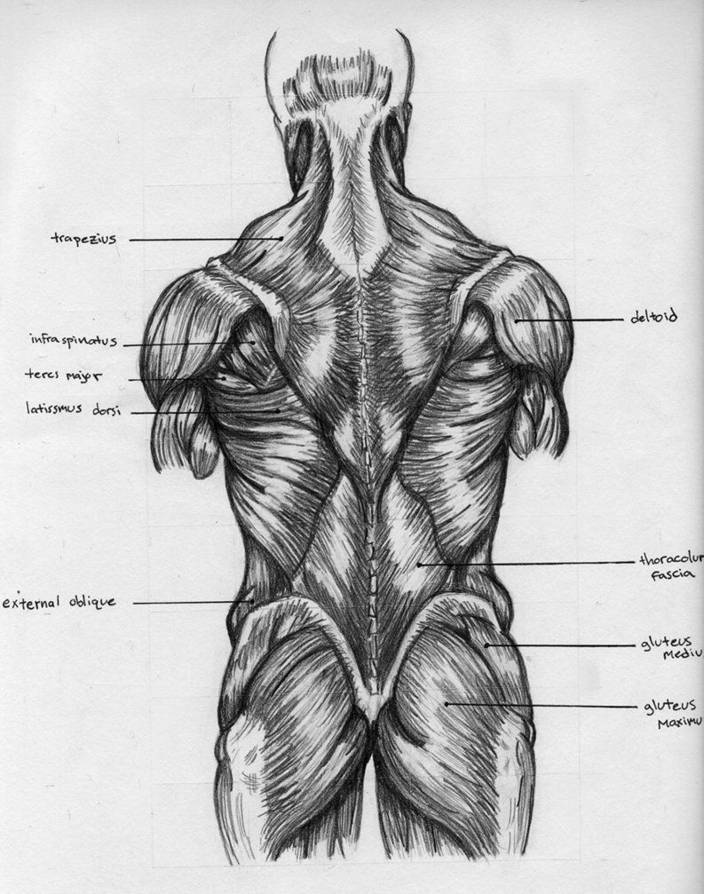 small resolution of back muscles chart by badfish81 on deviantart