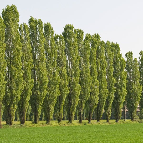 Top 30 Fastest Growing Trees For Your Home
