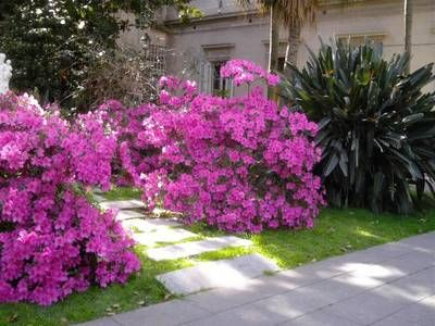 Cultivar azalea en interior foro de infojard n azaleas pinterest foro de cultivar y patios - Cuidado de azaleas en interior ...