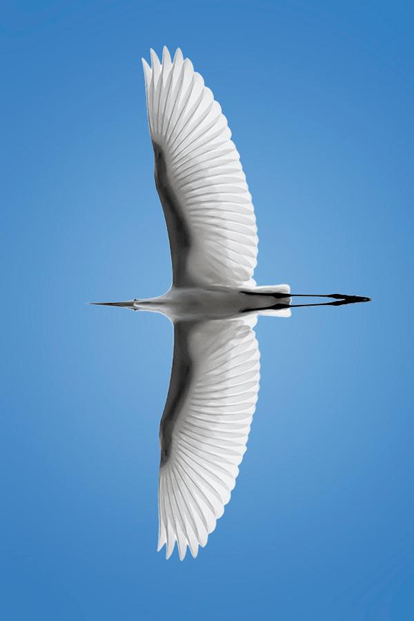 Great Egret overhead. SORPRENDENTE, per l'estremo adattamento del corpo al mezzo