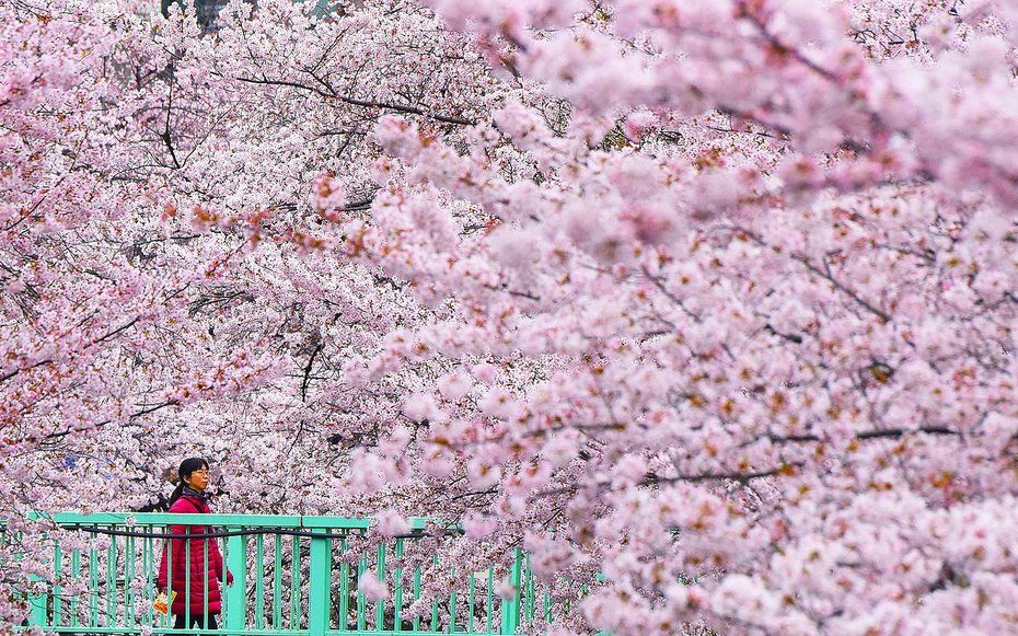 6 Places To See The Cherry Blossoms In Japan This Spring Minus The Crowds Cherry Blossom Japan Japan Cherry Blossom Season Cherry Blossom Season