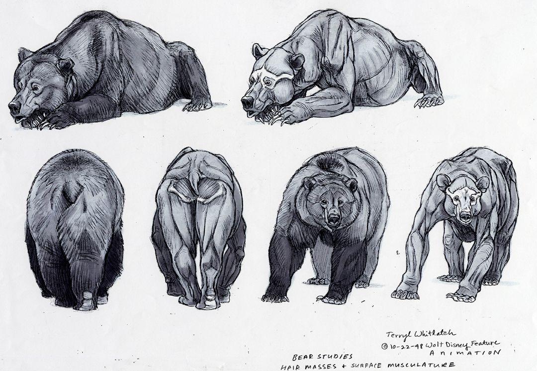 drawing art black draw animal bear brown Anatomy Bears wild ...