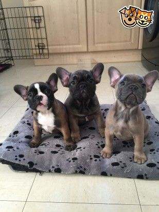 2 Kc Registered French Bulldog Puppies Bulldog Puppies French