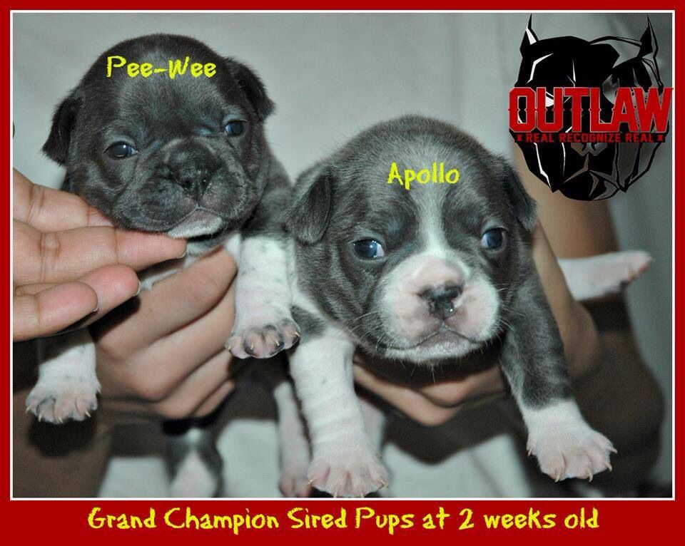 French Bulldog Puppies For Sale These Are The Males If