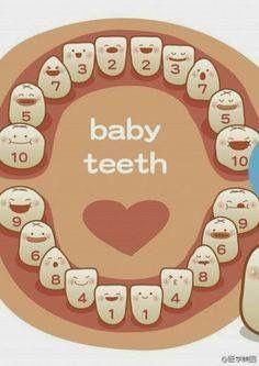 teeth growth chart