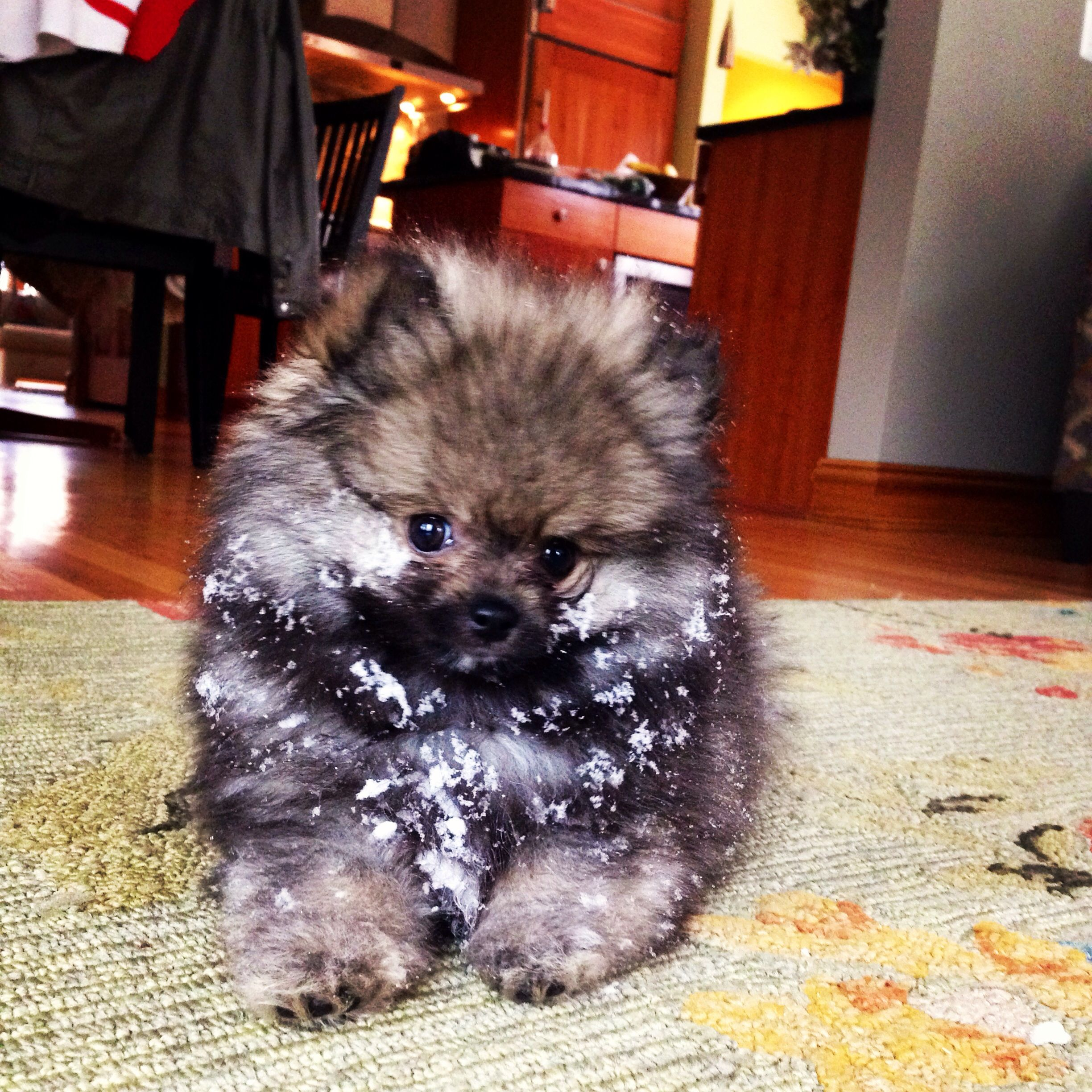 #Timber the #pomeranian #puppy !!! He loves the snow!