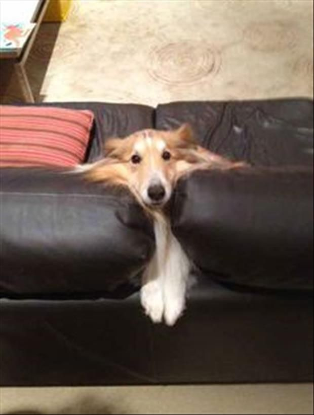 WHAT'S THAT TIMMY?! YOU SAY LASSIE IS STUCK IN THE COUCH?!!