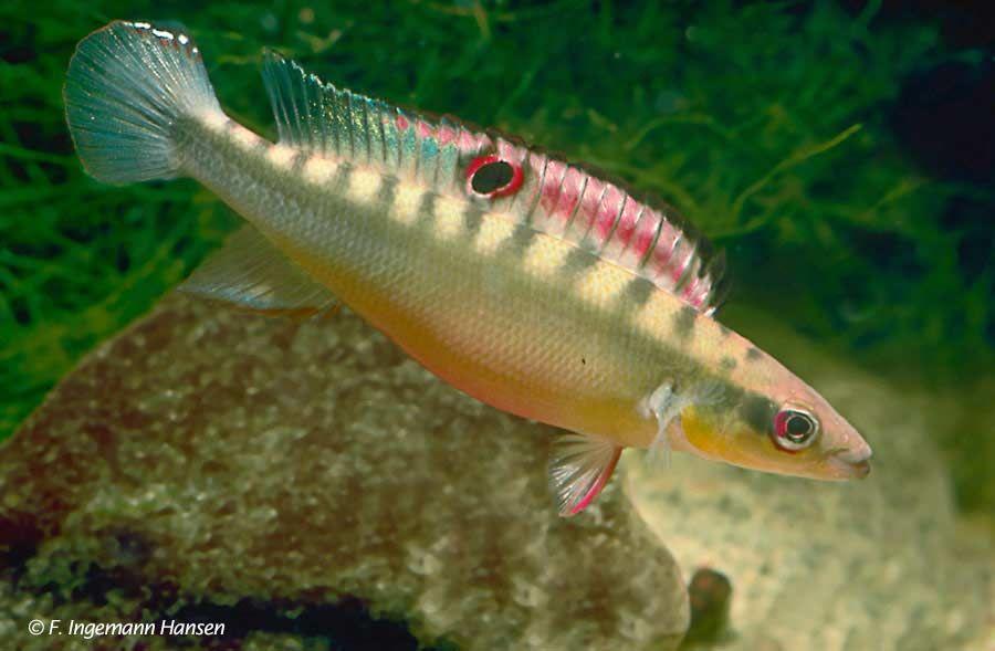 Crenicichla Zebrina Freshwater In 2018 T Aquarium Fish