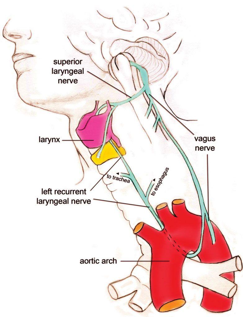 Recurrent laryngeal nerve anatomy   Anatomy note world   Pinterest ...
