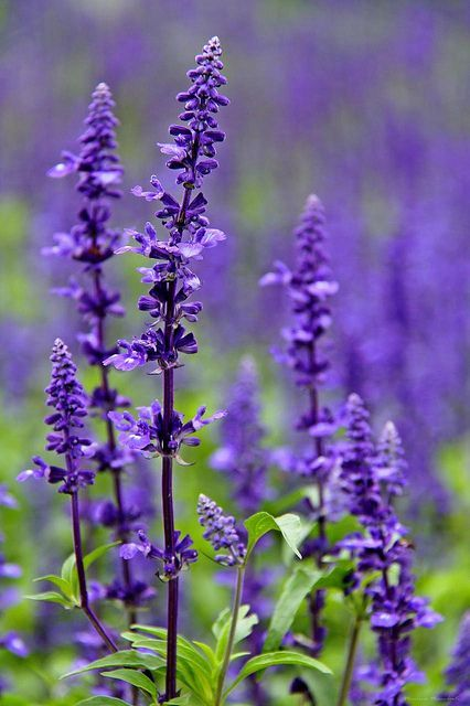 salvia purple perennial flower mint family hardy common in utah - Common Purple Garden Flowers