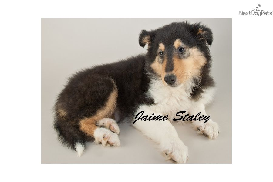 Collie Puppy For Sale Near Akron Canton Ohio 3a968211 89b1