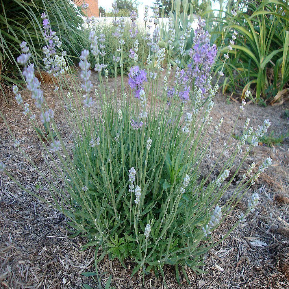 1 Gal Munstead English Lavender Plant English Lavender