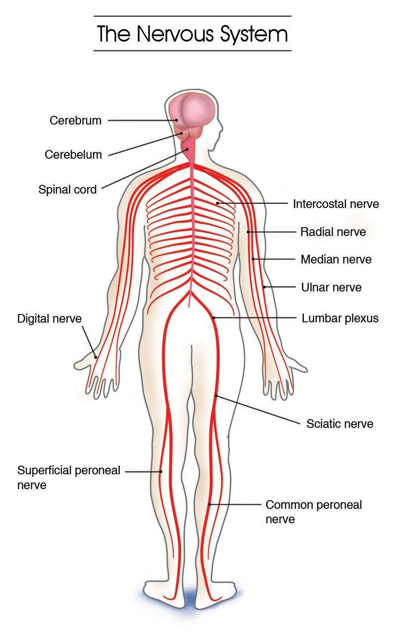 hight resolution of labeled picture of the nervous system anatomy physiology final project the systems of the body