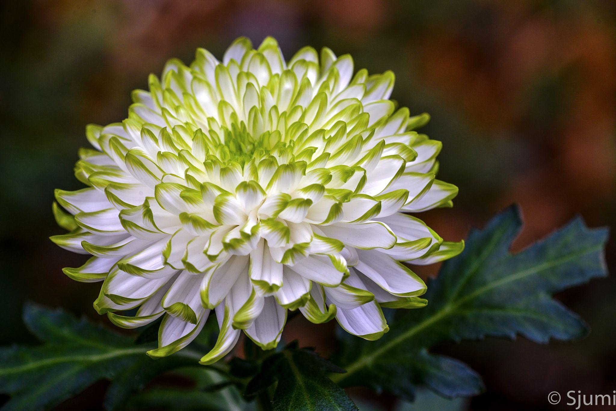 Chrysanthemum Chrysantheme Chrysanthemum Beautiful Flowers Pretty Flowers