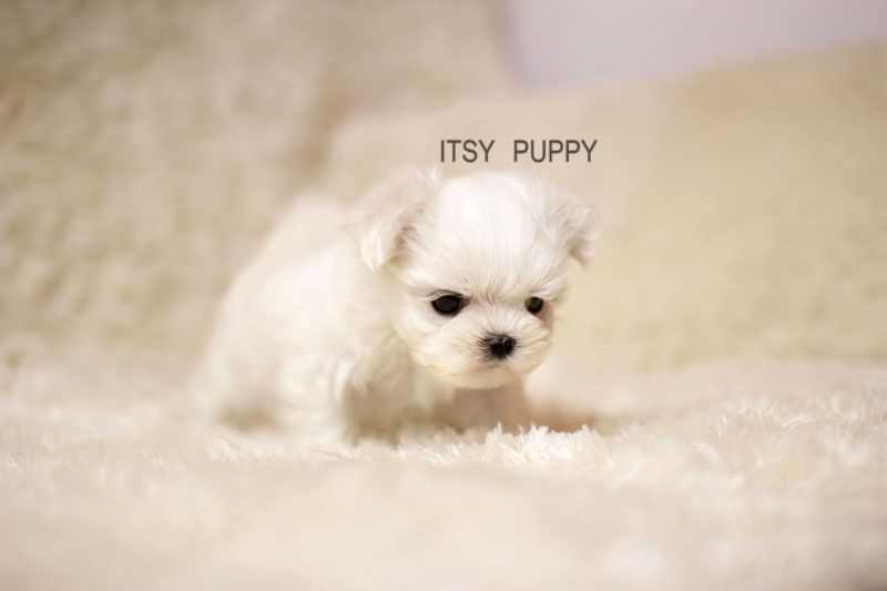 Teacup Poodle 3 Teacup Poodle Puppies Pomeranian Puppy Teacup Teacup Yorkie Puppy