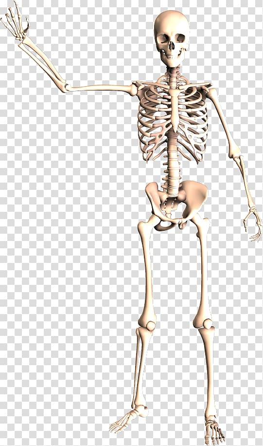 Dynatomy Dynamic Human Anatomy Human Skeleton Skeleton Transparent Background Png Clipart Human Skeleton Human Bones Anatomy Human Bones