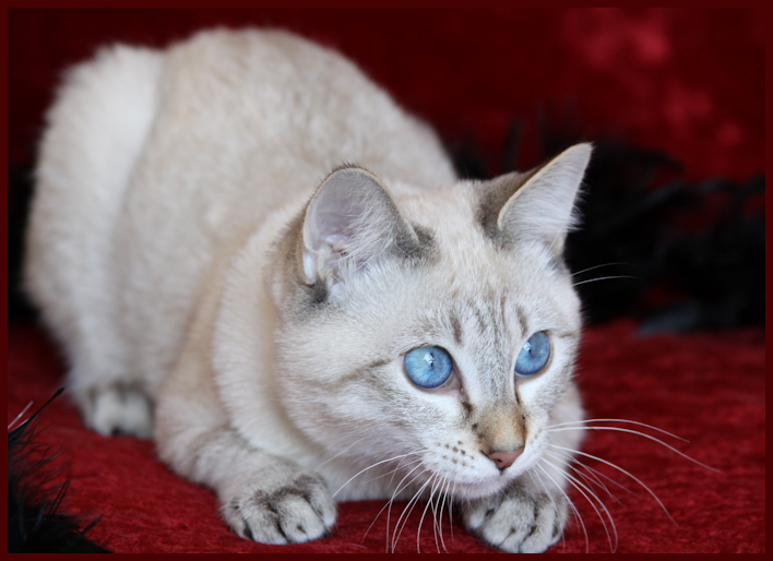 Siamese Royalty Siamese Balinese Lynx Kittens Cats Color Pt Lynx Kittens Kittens Cutest Cat Breeds