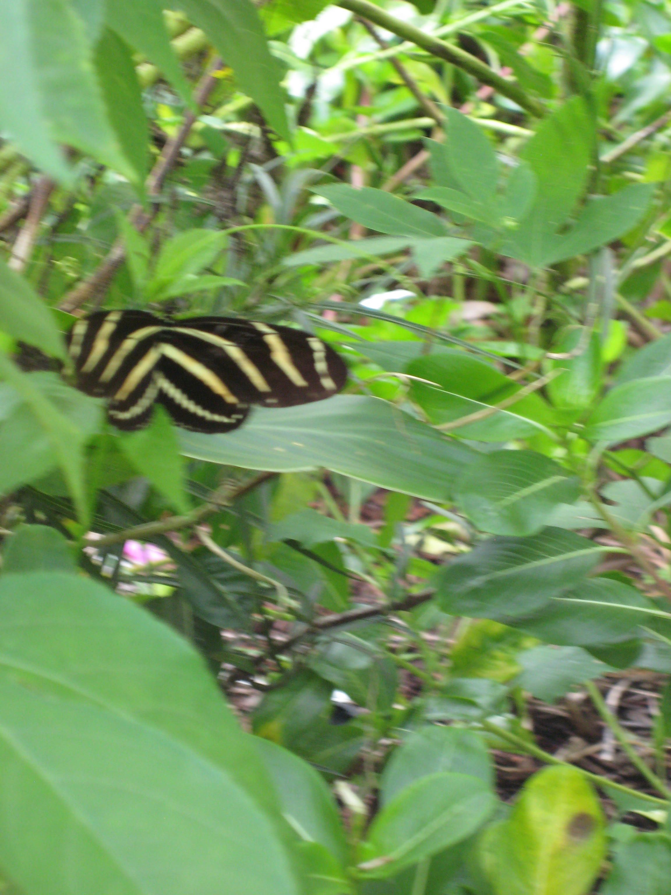 A Zebra Butterfly Flying Through The Passion Flower Vine Flowering Vines Plant Leaves Passion Flower