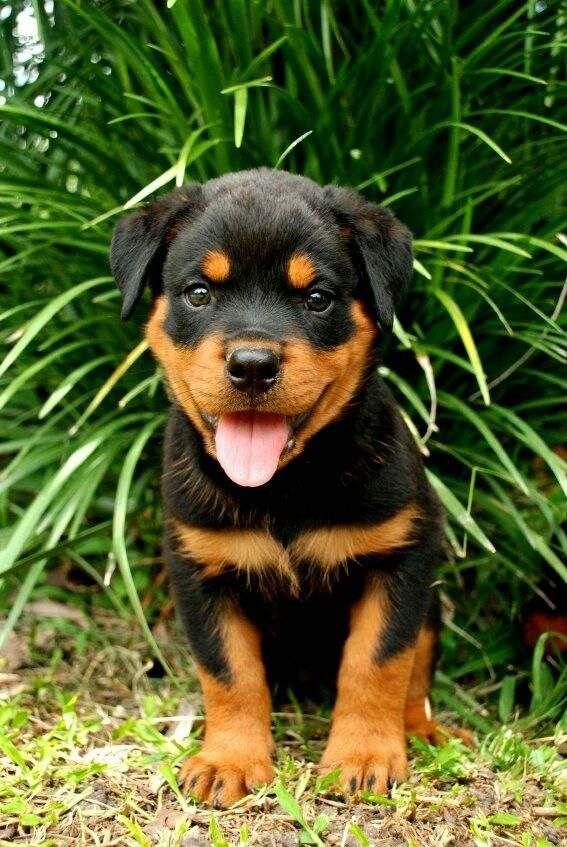 Image By Monica Dresh On Rottweilers Baby Rottweiler Rottweiler