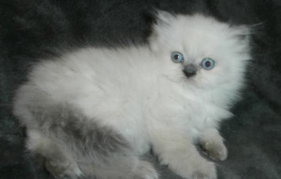 Persian And Himalayan Kittens For Sale St Louis Missouri Himalayan Kitten Persian Kittens Himalayan Kittens For Sale