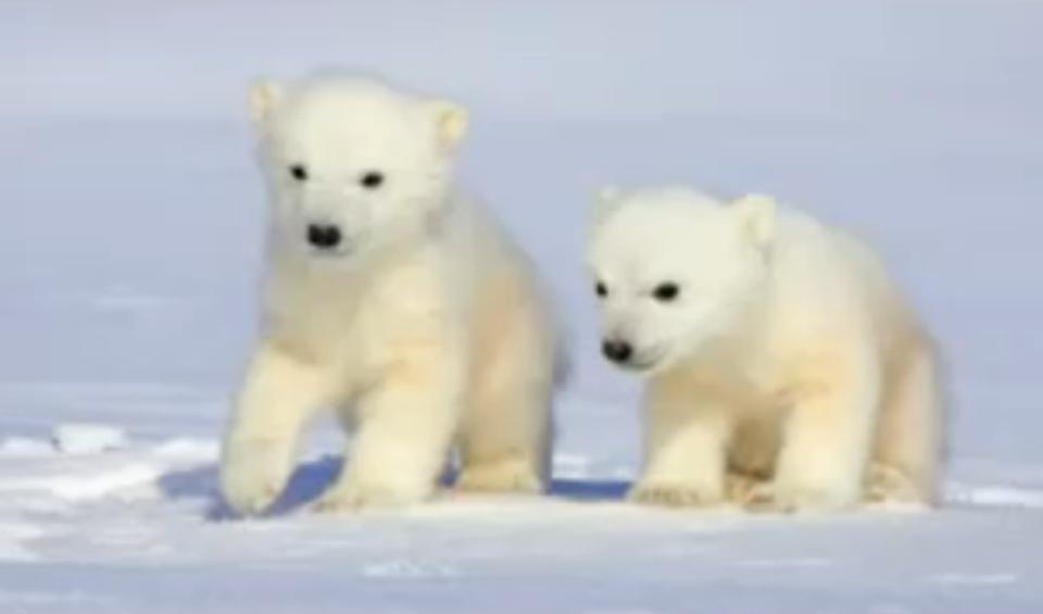 They Are So Adorable Baby Polar Bears Cute Polar Bear Polar Bear