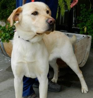 Trevor One Year Old In Carmel Ca Labs Available From Gglrr Lab Rescue Labrador Retriever Pets Rescue Dogs