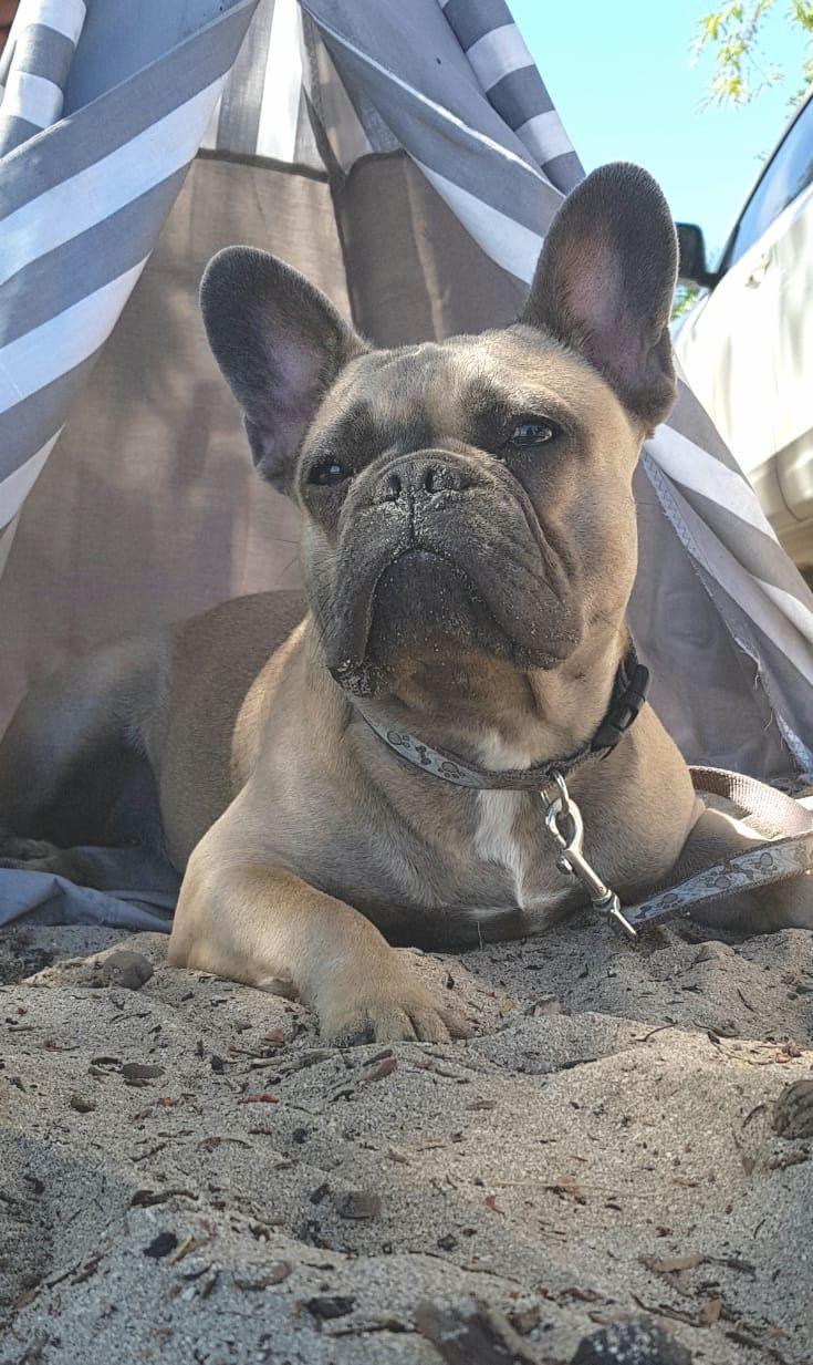 Eva Blue Fawn French Bulldog EVABLUEFAWN White french