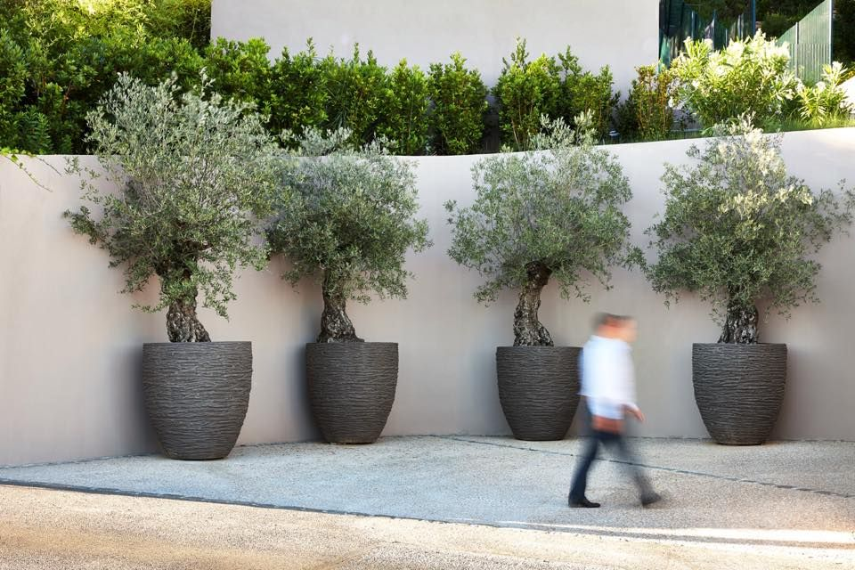 Olive Trees Pots Courtyard