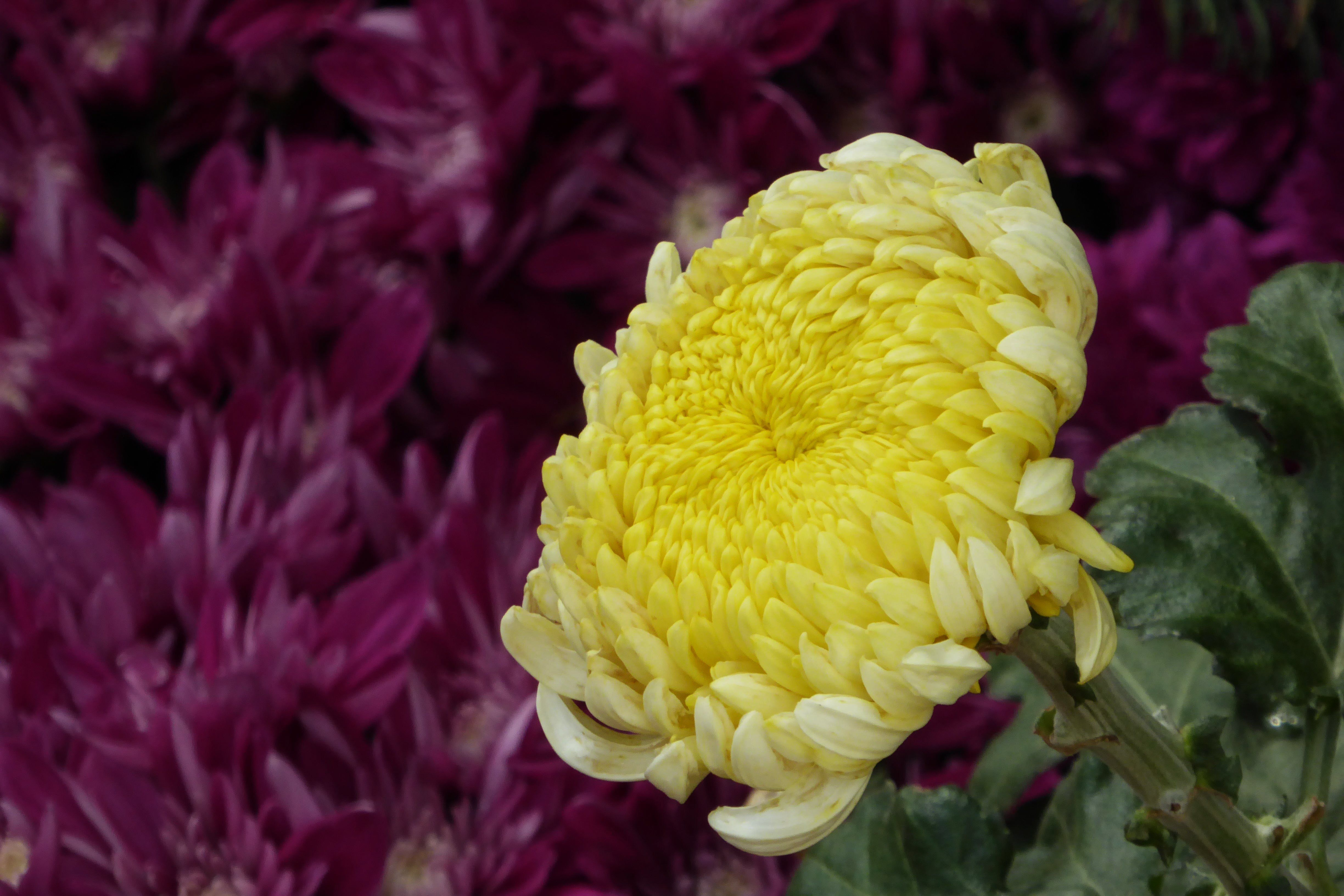 Yellow Or White Chrysanthemum Flowers Are Boiled To Make A Tea In Some Parts Of Asia The Resulting Beverag Chrysanthemum Tea Chrysanthemum Leaves Wine Flavors