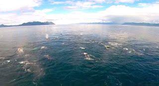 """""""O GRITO DO BICHO"""": Baleias Jubarte trabalham em grupo para caçar"""