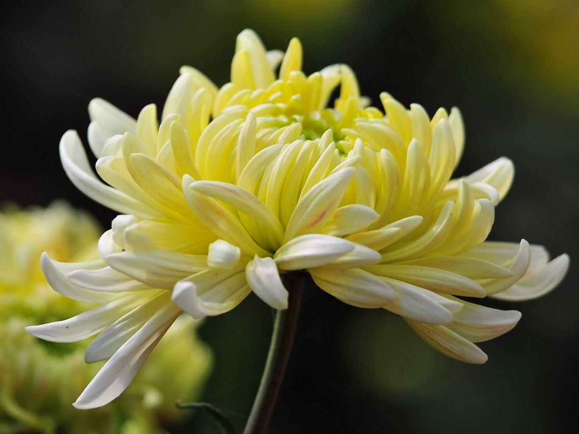 Хризантема на фото