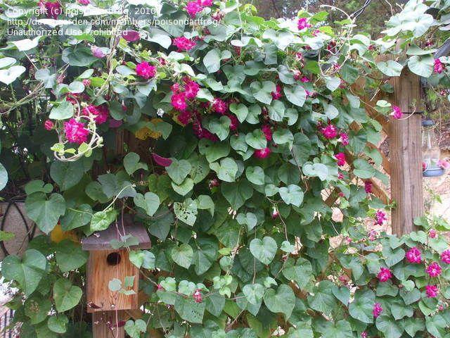 Full Size Picture Of Tall Morning Glory Sunrise Serenade I Ipomoea Purpurea I Morning Glory Preschool Garden House Plants